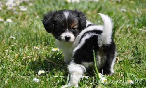 порода собак спаниель