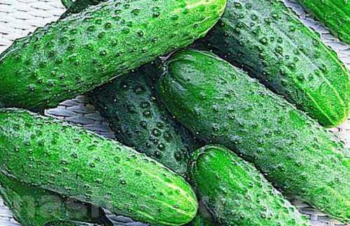 малосольные огурцы с чесноком и зеленью быстрого приготовления: 8 лучших рецептов